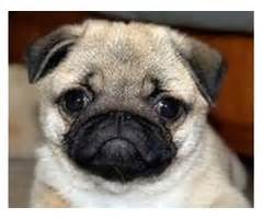pug puppies for sale in chattanooga tn affordable a k c registered pug puppies animals franklin tennessee