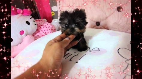 smallest teacup yorkie in the world smallest micro yorkie puppy in the world