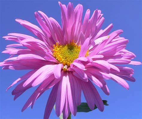 astro flower aster flower astro e una pianta erbacea perenne