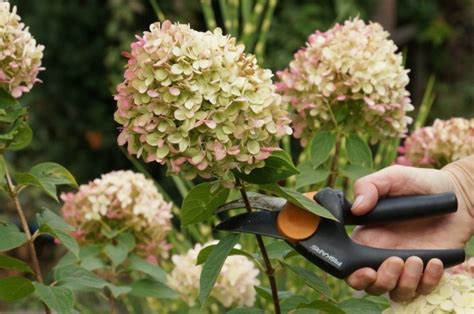 wie trockne ich hortensien hortensien f 252 r blumenstr 228 u 223 e trocknen in nur 30 minuten