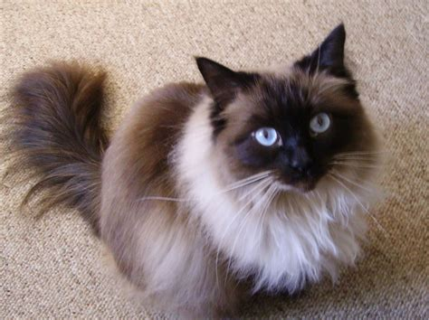 ragdoll cat rescue ragdoll cat cats dogs and animal pictures