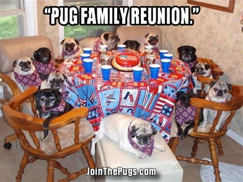 are pugs a family pug family reunion join the pugs
