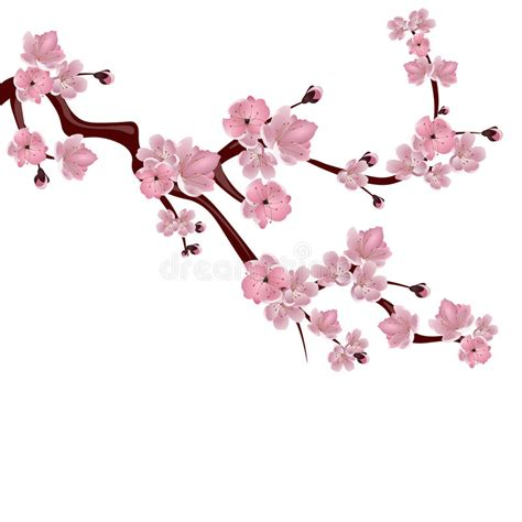 Cherry On White japanese cherry tree a branch of pink cherry blossom on