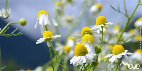 fiori medicinali piante officinali piemonte p a t