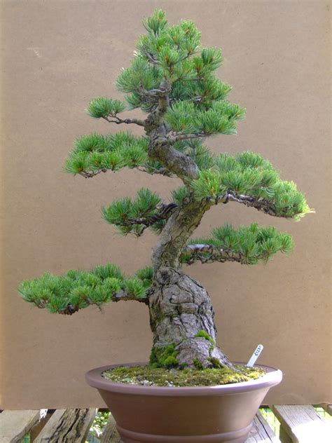 here s a thought bonsai bonsai gallery thoughts