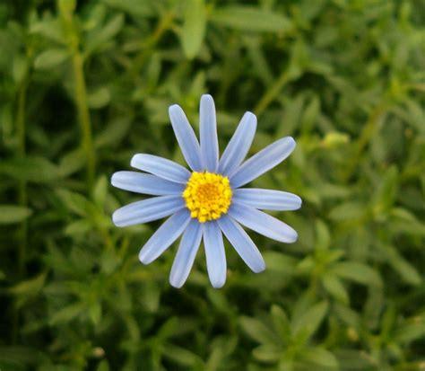 Flowet Tosca felicia tosca blue