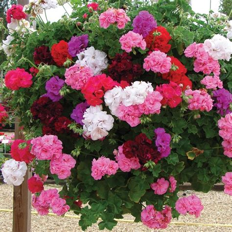 Soil Mix For Container Gardening - 6 trailing verbena plant collection patio basket plug plants geraniums hanging baskets and