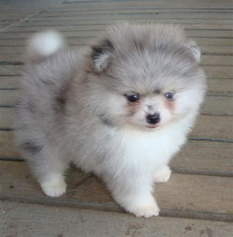 fluffy pomeranian puppies grey and white fluffy pomeranian puppy animals gray pomeranians and