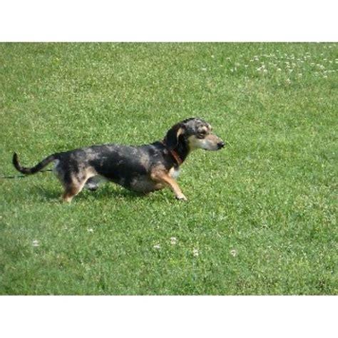 dachshund puppies for sale in ky somarriba s dachshunds dachshund stud in elizabethtown kentucky listing id 21740