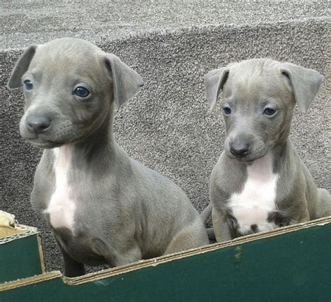 greyhound puppy for sale italian greyhound pups for sale southton hshire pets4homes
