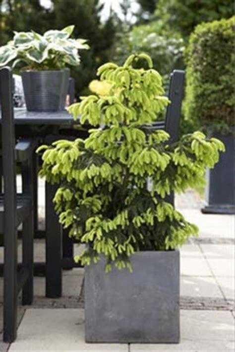 Sapin En Pot Terrasse by Petits Conif 232 Res Nouveau Style Nouvelles Ambiances
