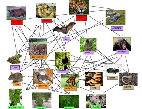 monkey food chain diagram monkey food web images search