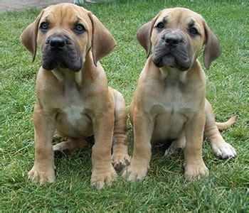 boerboel puppies boerboel breed