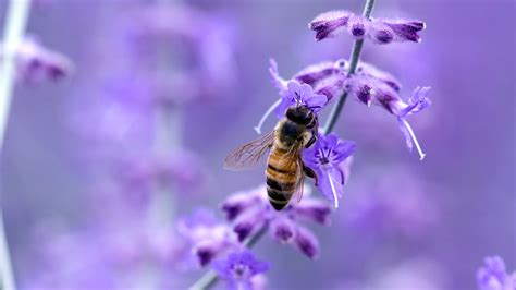 purple flower with bee wallpaper desktop close up nature flowers insects purple macro bees