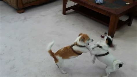 jack russell terrier jrt  rat terrier play fighting