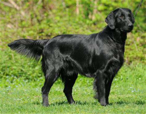 the flat coated retriever distinct breed from its lab or