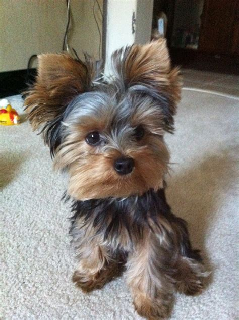 tea cup yorkie hair cuts pebblesthedog did you miss my beautiful face ruche