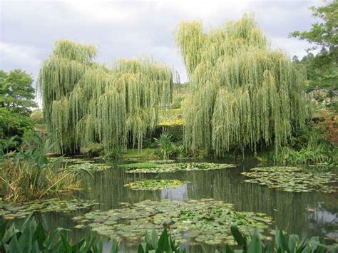 weeping willow wallpapers wallpaper cave