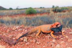 do geckos change color what bearded dragons tell us about color and heat tedx