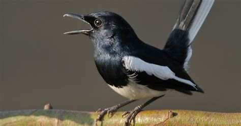 tips bagaimana  merawat burung kacer  rajin bunyi