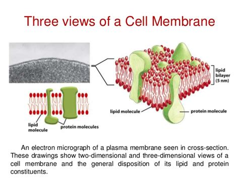 cross section of a cell membrane cross section of a cell membrane 28 images cross