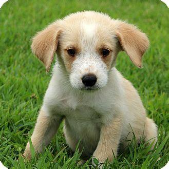 golden retriever shih tzu mix glastonbury ct golden retriever shih tzu mix meet brody a puppy for adoption