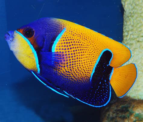 different colored different colored clown fish