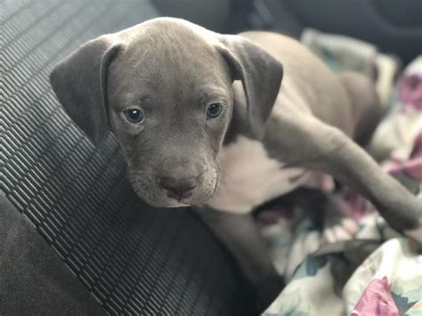 Puppies Pitbull blue nose pitbull puppies for free how to get for free