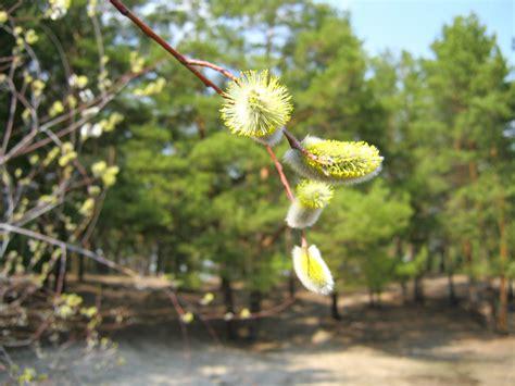 fiori di bach willow fiore di bach willow per coloro hanno subito un torto
