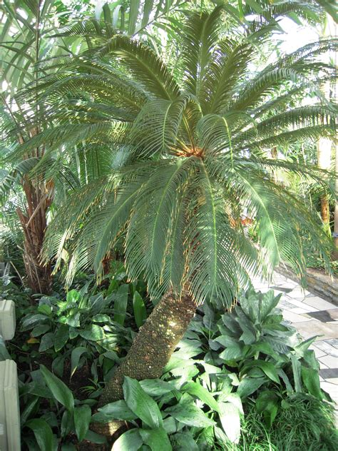 palm puppies sago palm and dogs sago palm poisonous to dogs and cats