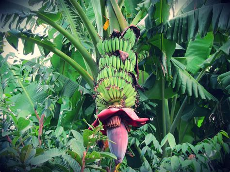 Amazing Backyards banana heart san