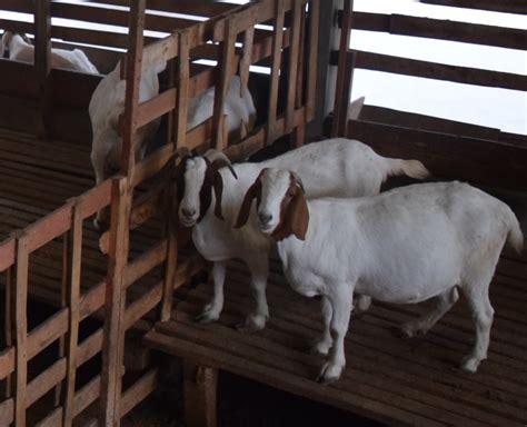 Bibit Kambing Kurban fakultas peternakan id kambing boer cocok untuk hewan