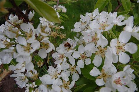 fiori alberi da frutto alberi da frutto piante da giardino frutteto