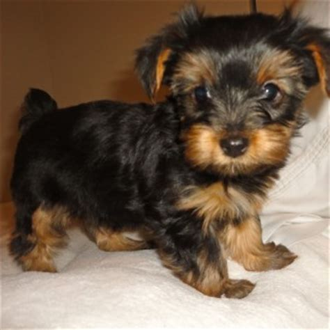 mini yorkie rescue yorkie mix rescue dogs success litle pups