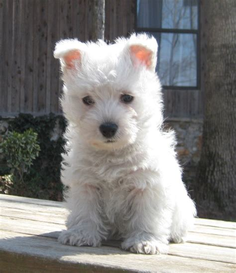 westie puppies for sale miniature white terrier www pixshark images galleries with a bite