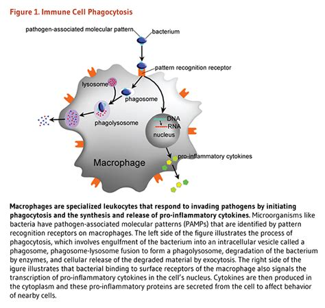 pattern recognition receptors phagocytosis immunity linus pauling institute oregon state university