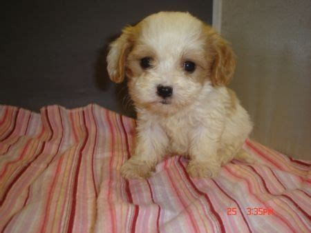 teacup cavapoo puppies for sale cavapoo teacup puppy breeds picture
