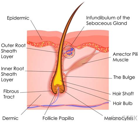 folliculitis cause pubic hair to grow sideways and in layers what is a hair follicle with picture