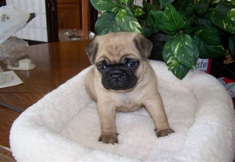 pug puppies for sell pug puppies for new home animals pug puppies for new home ready to go now for new home