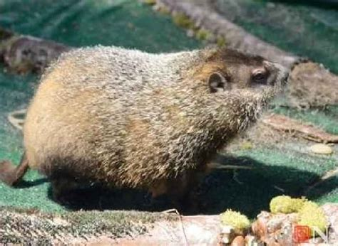 groundhog day 2015 staten island zoo groundhog day 2015 staten island chuck one news page