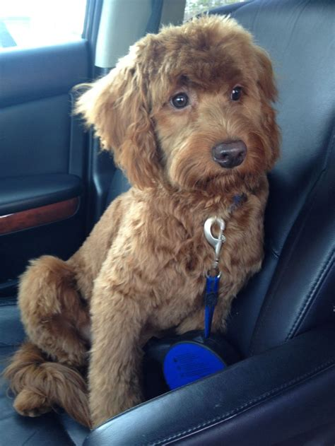 doodle haircuts post haircut goldendoodle friends