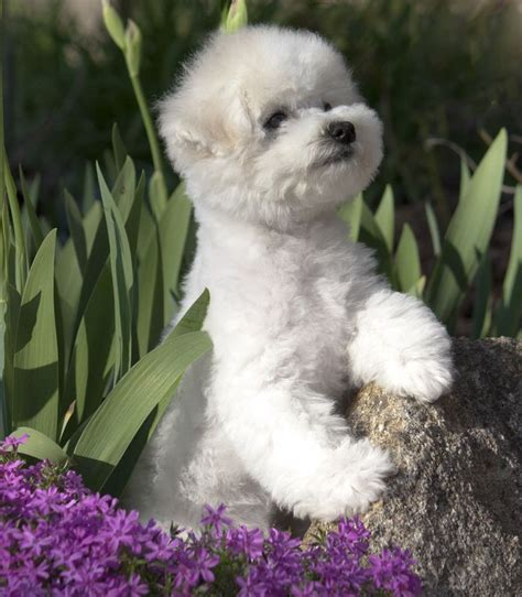 lowchen puppies pin by hartell on lowchen dogs