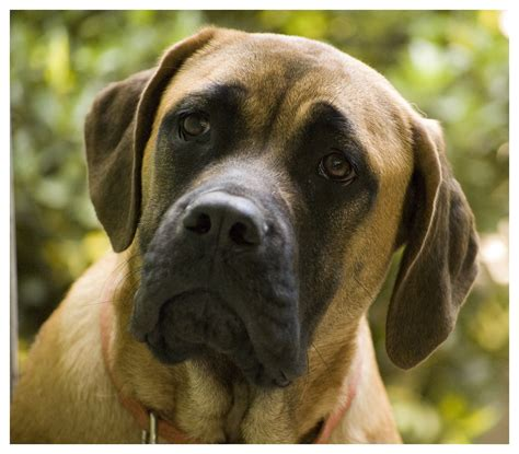 puppy mastiff lovely mastiff photo and wallpaper beautiful lovely mastiff