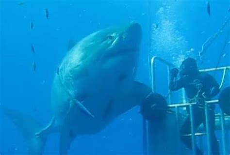 we re gonna need a bigger boat pregnancy announcement largest great white shark caught on video at mexico s