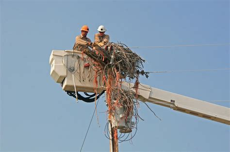 fatal attraction ospreys in a bind with baling twine