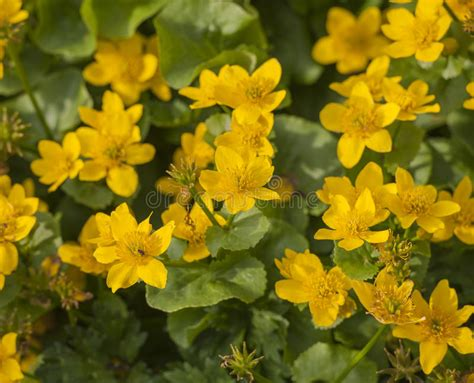 gelsomino ricante in vaso pianta ricante con fiori gialli perenne immagini piante