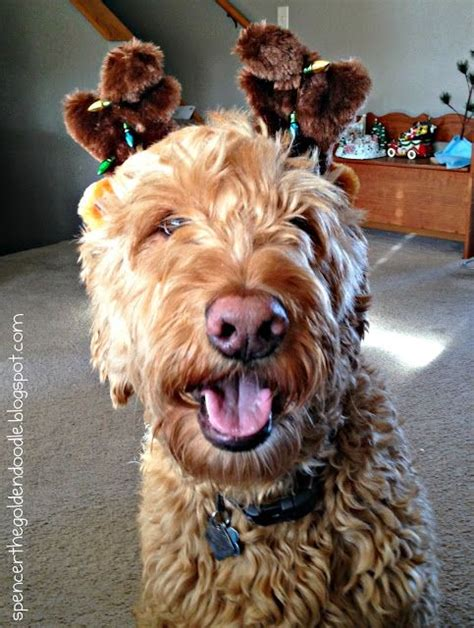 goldendoodle puppy progression 141 best images about oodle on poodles