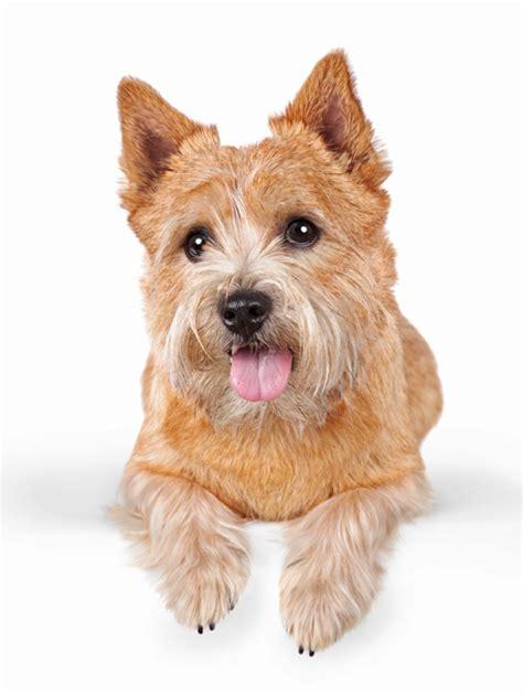 norwich terrier puppy norwich terrier breed information noah s dogs