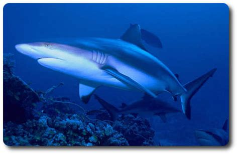 5 Meters To Feet learn facts about the reef species of shark here shark sider