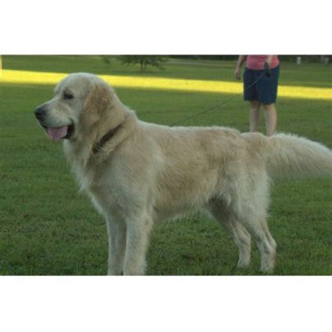 tennessee golden retriever cold mountain retrievers golden retriever stud in chuckey tennessee